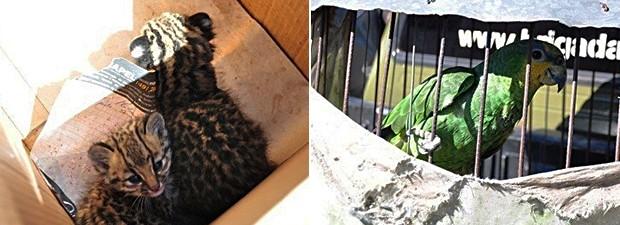 Animais foram apreendidos no Norte do RS (Foto: Reprodução/RBS TV)