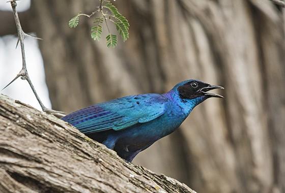 O estorninho-de-burchell (Burchell's starling, Lamprotornis australis) é endêmico do sul da África. Suas penas cintilantes cor de azul petróleo são sua principal característica  (Foto: © Haroldo Castro/Época)