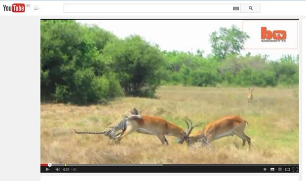 Leopardo atacou antílope no momento em que ele participava de duelo (Foto: Reprodução/YouTube/Barcroft)