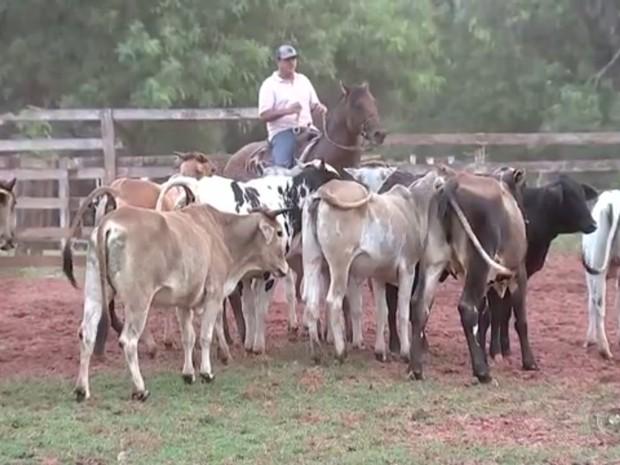 Roubo e furto de gado estão preocupando pecuaristas (Foto: Reprodução / TV TEM)