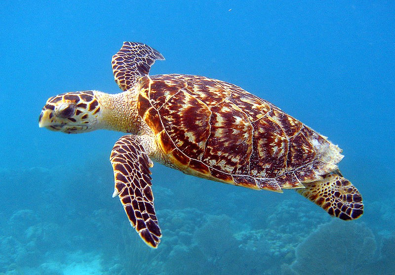 Tartaruga-de-pente (Foto: U.S. Fish and Wildlife Service Southeast Region/ Wikimedia Commons)