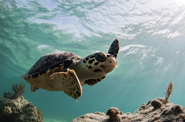 As tartarugas-marinhas também são comuns na praia de carlisle. (Foto: Divulgação)