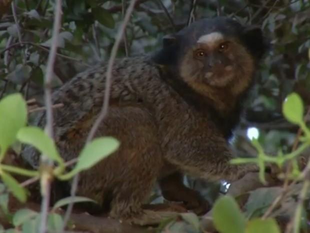Macaco morre com febre amarela e Luziânia reforça vacinação contra doença, em Goiás (Foto: Reprodução/TV Anhanguera)