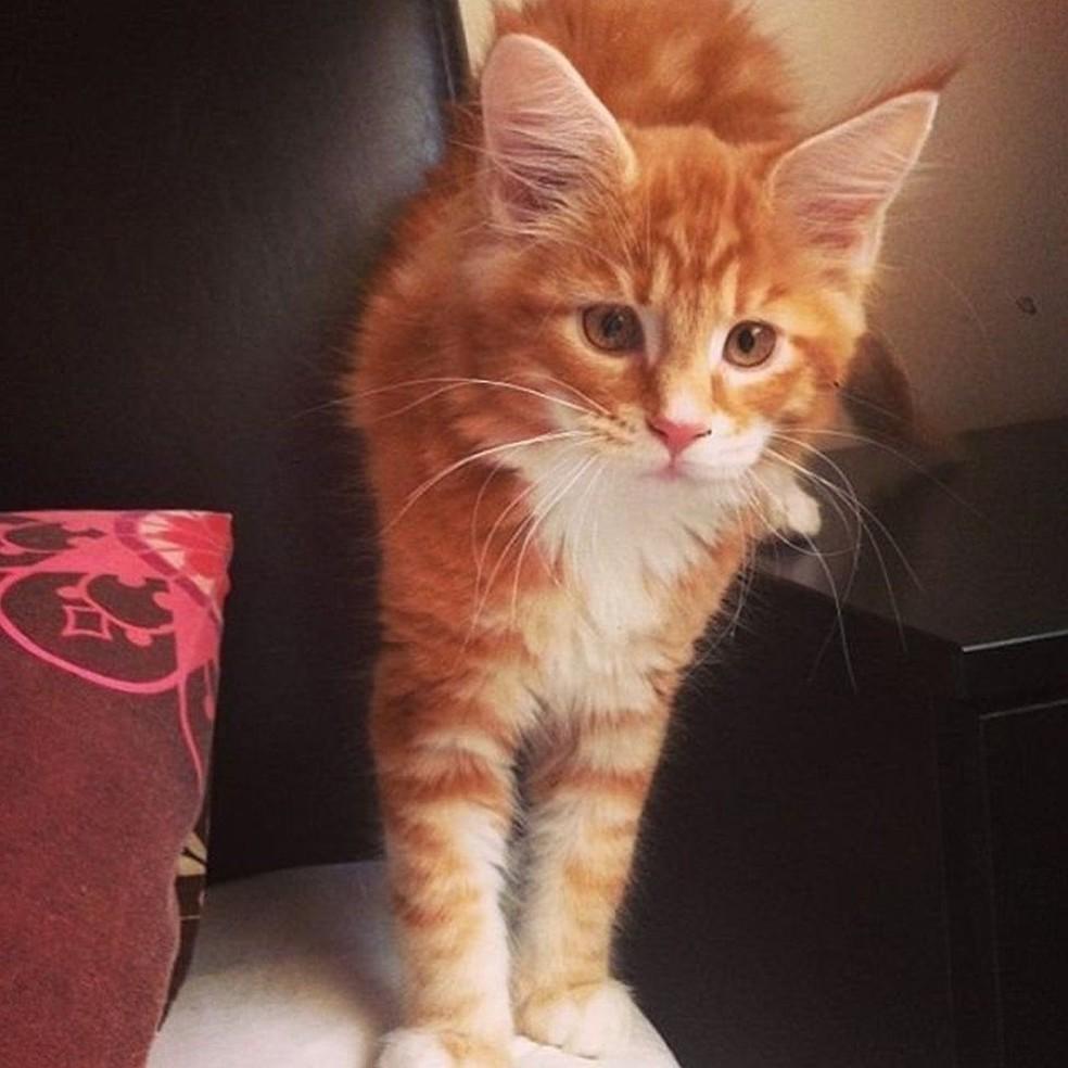 Aos três meses de idade, Omar parecia um gato comum (Foto: Instagram/@omar_mainecoon)