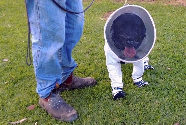 Roupa, desenvolvida pelo apicultor Josh Kennett, permite que labrador se aproxime de colmeias para farejar doenças, sem que seja picado (Foto: Josh Kennett/Reuters)