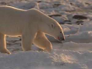 Morarodes de Churchill têm medo de esbarrar com ursos no meio da neve (Foto: Reprodução)