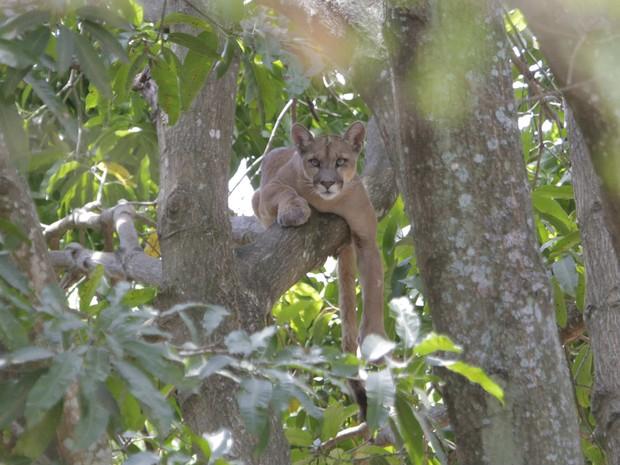 Puma resgatado de árvore em casa no Lago Sul, em Brasília (Foto: Marco Holanda/Arquivo pessoal)