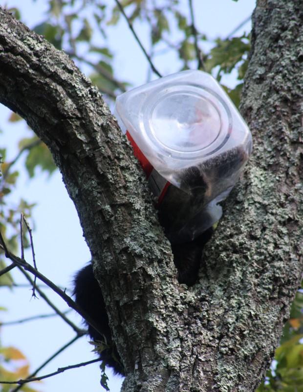Filhote de urso foi encontrado com pote de biscoitos preso na cabeça em Nova Jérsei (EUA) (Foto: NJ Department of Environmental Protection/AP)