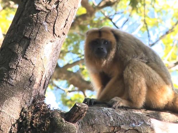 Macacos vivem em praça no Centro de São Borja (Foto: Reprodução/RBS TV)