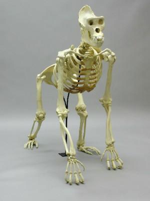 Esqueleto de animais estão presentes na mostra (Foto: Divulgação/ Palácio Anchieta)