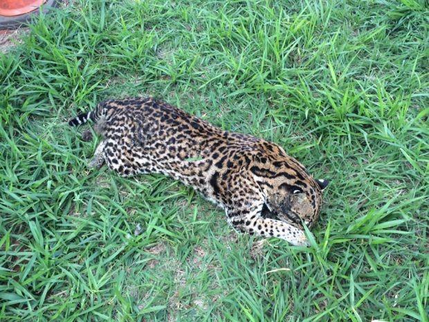 Ciclista encontrou jaguatirica morta em acostamento (Foto: TV TEM/Reprodução)