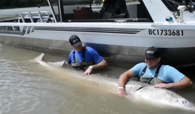 Depois de posarem para fotos ao lado do enorme peixe, a família Jarvis o soltou novamente no rio (Foto: Reprodução/YouTube/Great River Fishing Adventures)