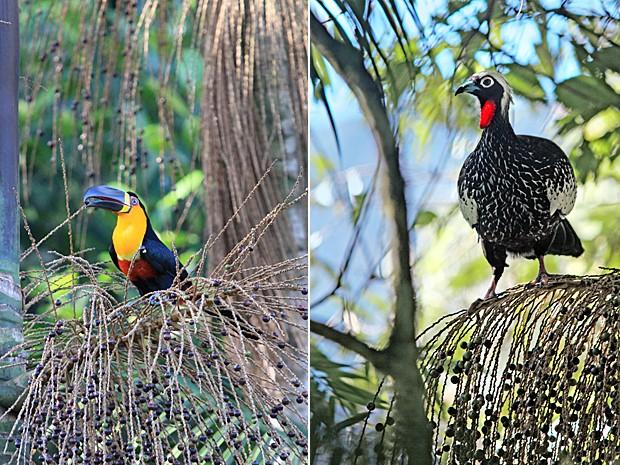 Tucano-de-bico-preto ('Ramphastos vitellinus') é um importante dispersor de sementes nas florestas tropicais; ao lado, jacutinga ('Aburria jacutinga') é a maior ave nas florestas tropicais do Atlântico (Foto: Images courtesy of Lindolfo Souto and Edson Endrigo/Science)