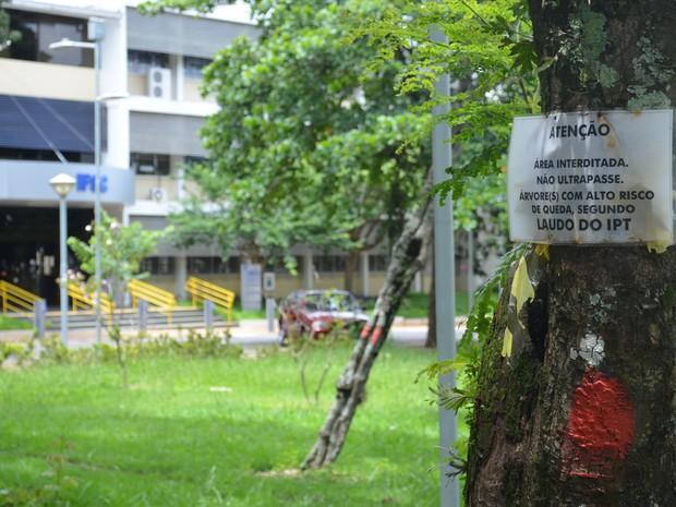 Árvore condenada pelo IPT nas proximidades do prédio do IFSC, em São Carlos (Foto: Stefhanie Piovezan/G1)