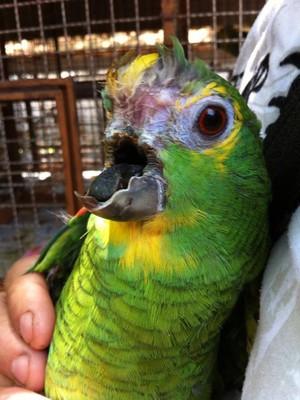 Papagaio sem a parte superior do bico sob os cuidados da Asas e Amigos (Foto: Divulgação)