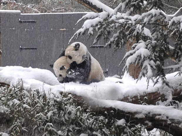 Ao lado de sua mãe, Mei Xiang, o panda Bao Bao brinca na neve no Smithsonian's National Zoo, em Washington (Foto: Reuters/Devin Murphy/Smithsonian's National Zoo/Handout via Reuters)