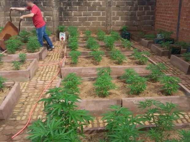 Plantação de maconha estava dentro de chácara, na zona sul de Franca, SP (Foto: Divulgação/Dise)