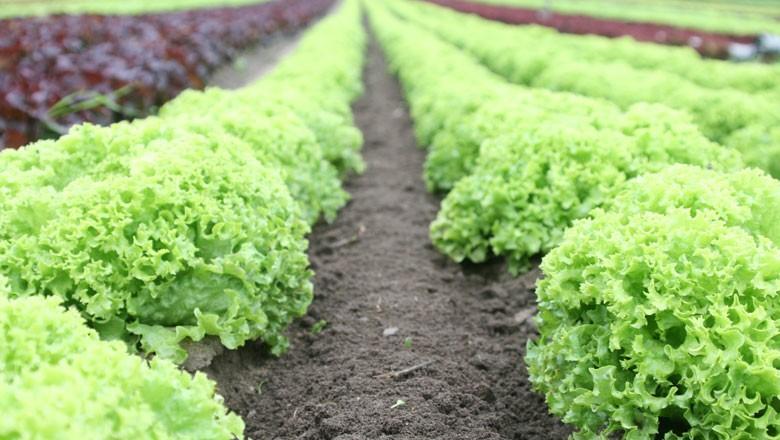 alface-horta-hortaliça-verdura (Foto: Michael Heinrich/Creative Commons)