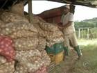 Chuva estraga cultivo de cebola e produtor teme perda total de safra