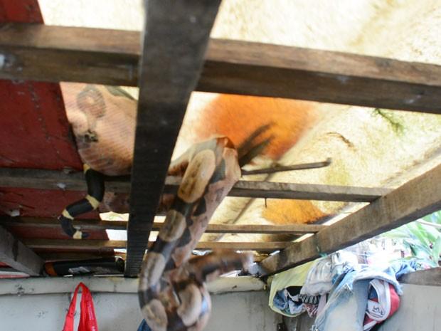 Animal estava enroscado no telhado no banheiro, em uma casa em João Pessoa (Foto: Walter Paparazzo/G1)