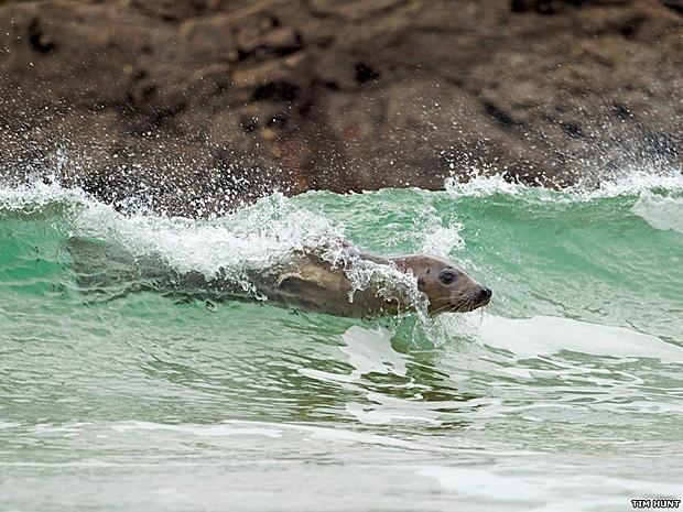 Fotógrafo capturou foca surfando. 'Foi tirada em Godrevy, no norte da Cornuália (Reino Unido). Ela mostra um comportamento interessante que eu nunca tinha visto antes' (Foto: Tim Hunt/BBC)