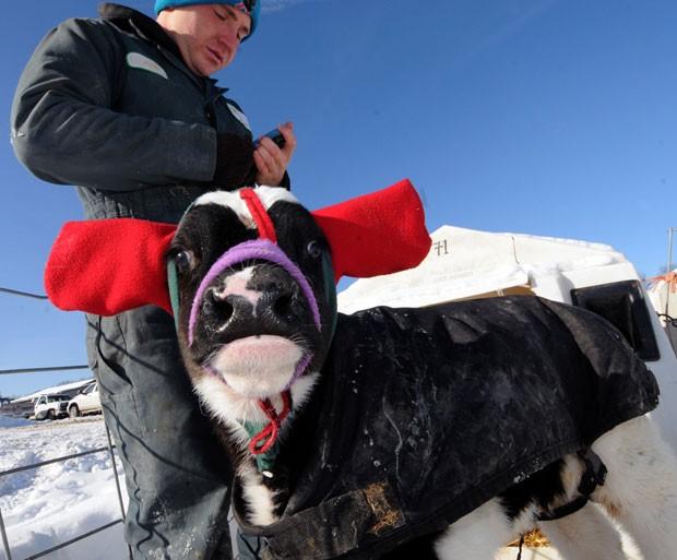 Por conta de baxias temperaturas, vacas ganharam 'cachecóis' de proteção para as orelhas (Foto: Marc Schultz/The Daily Gazette/AP)