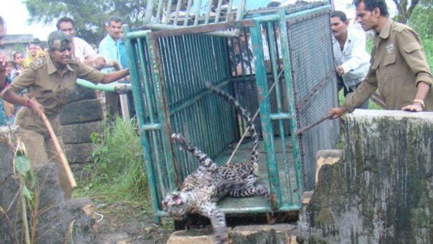 Leopardos costumam aparecer em áreas rurais da Índia  (Foto: Parque Florestal Nacional de Gir)