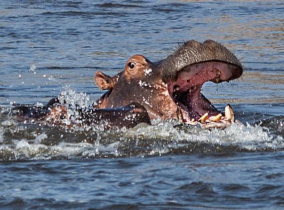 Um hipopótamo reage quando outro submerso (à esquerda) se aproxima. Parque Nacional Ruaha, Tanzânia  (Foto: Haroldo Castro/ÉPOCA)