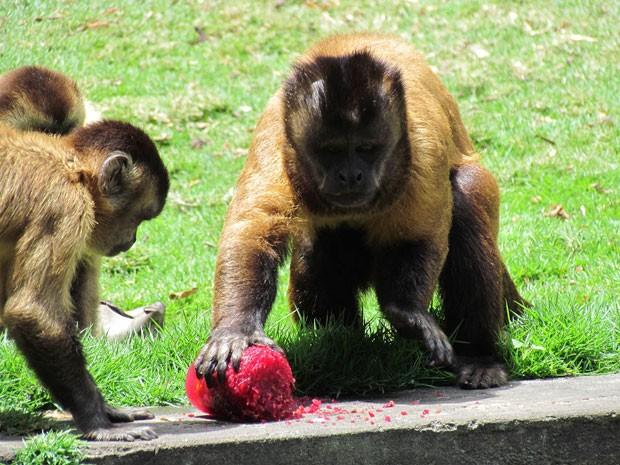 Macaco se 'refresca' com picolé na Bica, em João Pessoa (Foto: Divulgação/Secom-JP)