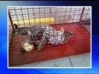 Filhote de jaguatirica é encontrado ferido em fazenda de Gália