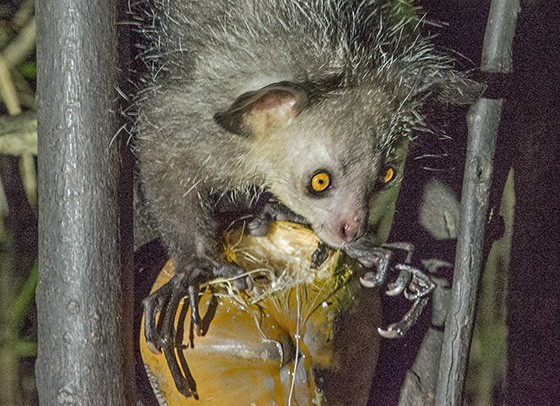 O quarto dedo do aye-aye é mais longo do que os outros e o primata utiliza-o para fisgar larvas que estão no interior dos galhos (Foto: © Haroldo Castro/ÉPOCA)