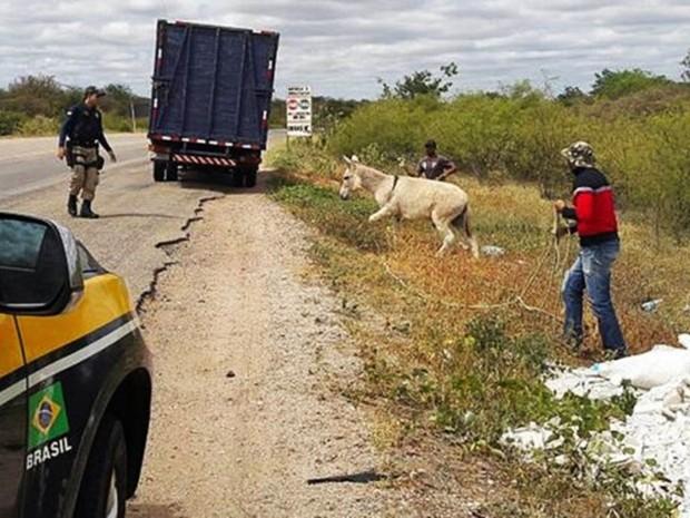Jumento solto em estrada no RN, ação de captura no Piauí e animais recolhidos para abate na Bahia: problema de segurança viária ainda sem solução definitiva (Foto: PRF/Divulgação)