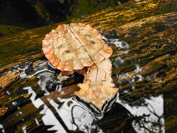 Mata-mata (Chelus fimbriata) jovem foi fotografado em um riacho  (Foto: Fábio Andrew Gomes Cunha/Inpa/Divulgação)