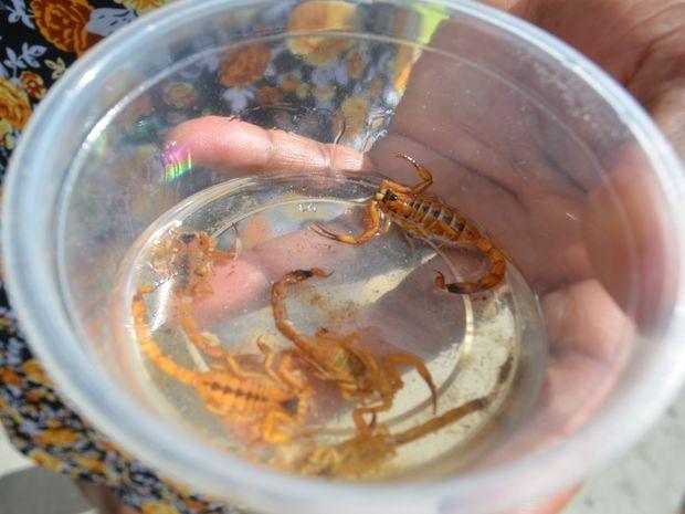 Dona de casa mostra escorpiões que encontrou dentro de casa (Foto: Marina Fontenele/G1 SE)
