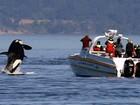 Orca salta próximo a barco quando turistas olhavam para o outro lado