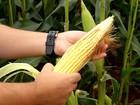 Colheita do milho em MG começa com o que vai servir para silagem