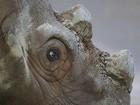 Rinoceronte raro deixa zoo nos EUA para tentar reprodução em santuário