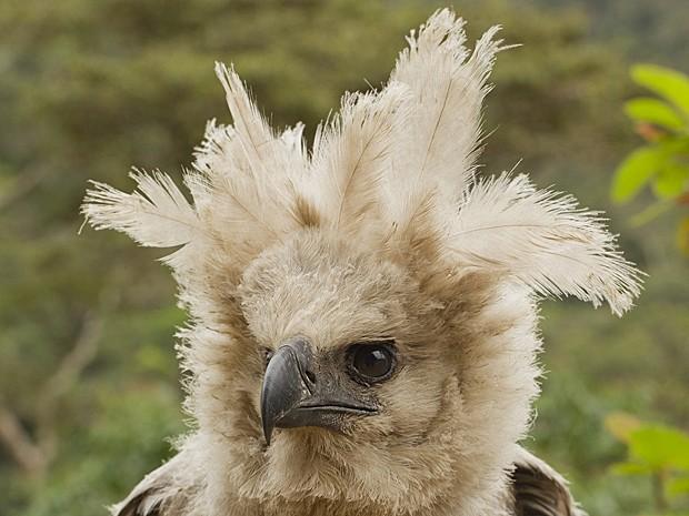 Águia Bolívia Madidi (Foto: Mileniusz Spanowicz/WCS)
