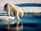 Ursos polares estão ficando sem gelo no Ártico, diz estudo