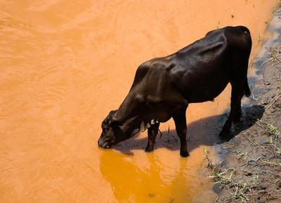 gado-rio-doce (Foto: Agencia Brasil)