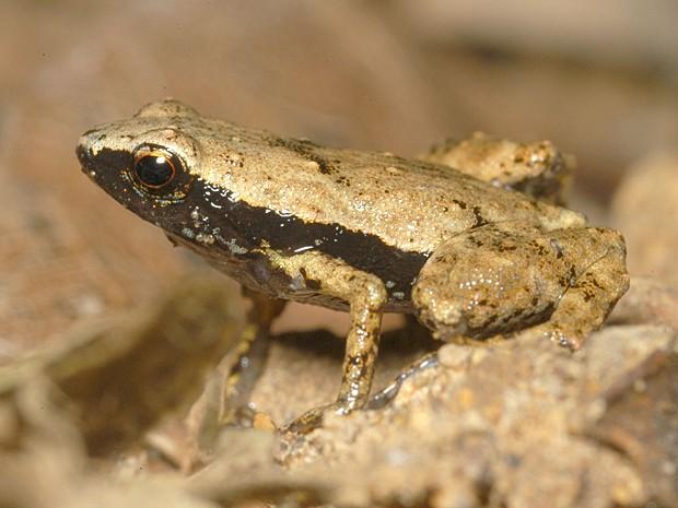 Rã da espécie 'Sooglossus gardneri' (Foto: HO/CNRS/AFP)