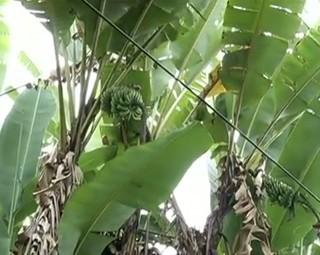 Fungos comprometem produção de bananas em Angra dos Reis (Foto: Reprodução Bom Dia Rio)