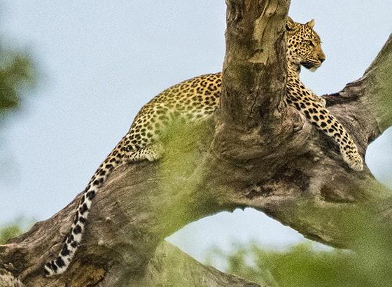 Um leopardo em seu ponto de observação preferido: um galho de uma árvore seca (Foto: © Haroldo Castro/Época)