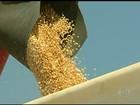 Falta de cuidados no transporte e na colheita causa desperdício de grãos