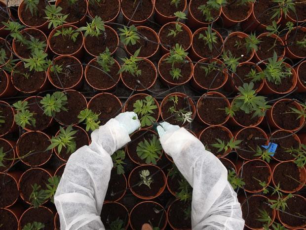 De acordo com os pesquisadores, a planta contém substâncias anti-inflamatórias que podem ser aplicadas no tratamento de doenças como artrite reumatoide, colite, inflamação do fígado, doenças cardíacas e diabetes. (Foto: Baz Ratner/Reuters)