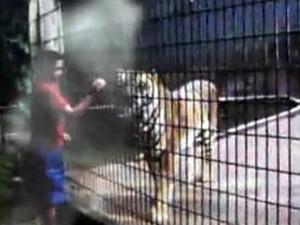 Menino invadiu a área e ficou muito perto do tigre (Foto: Reprodução/Catve)