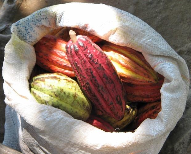 Cacau possibilitou a produção de chocolate, uma símbolo da Páscoa de hoje em dia. (Foto: Gshow)