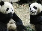 Possível gravidez de panda 'celebridade' causa frenesi em Taiwan
