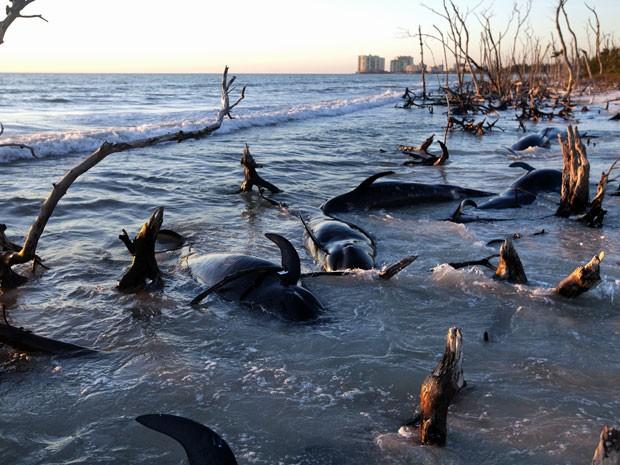 Baleias são encontradas na ilha Kice, no sudoeste da Flórida (Foto: Carolina Hidalgo/ AP)