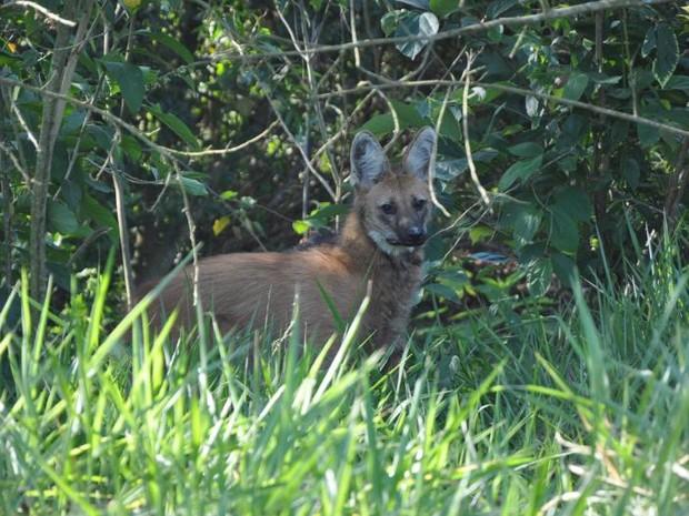 Animal é do sexo feminino e tem aproximadamente 6 anos (Foto: Defesa Civil de Porto Feliz/Divulgação)